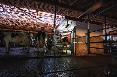 Lely A4 Robot with dairy cows