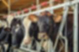 West Coast Stabling headlockers and dairy cows