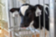 Dairy calf in a Comfy Calf Suite
