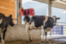 Dairy barn interior with Lely Luna cow brush
