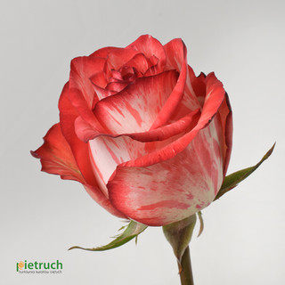 Twinkle Blush
