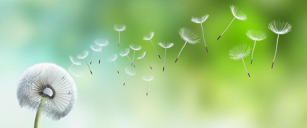 Fotolia , Pusteblume im Garten:   © psdesign1