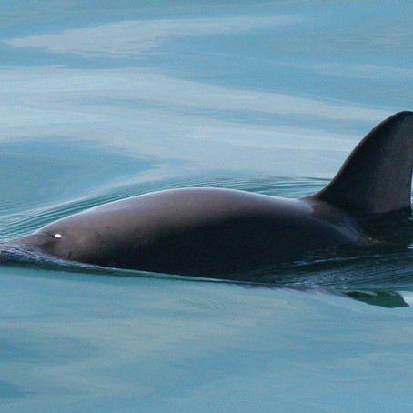 Monitoreo Vaquita: Saving a Species From Extinction