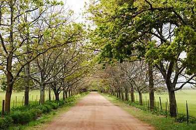 Muldersvlei Estate  oak tree avenue
