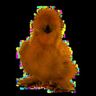 brown-silkie-chicken.png