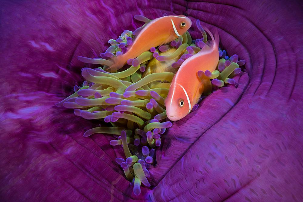 Peach Anemonefish