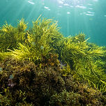 crayweed---phyllospora-comosa_3202102586