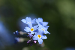 blue-forget-me-not