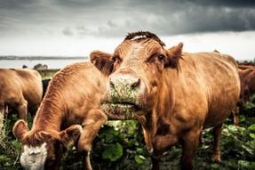 portrait-of-cows-grazing-678835297-58978