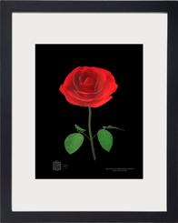 rose1232021cvnft8x10bmfr.png
