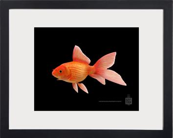 symbolGoldfish11262020v8x10bmfr.png