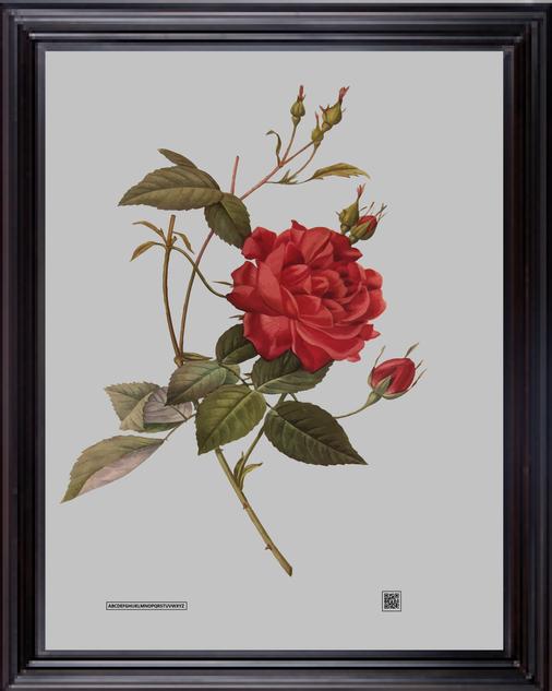 FRAMEDROSE16X20Pierre-Joseph_Redouté.png