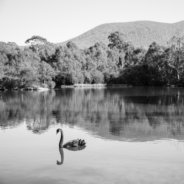 Swan in a Pond