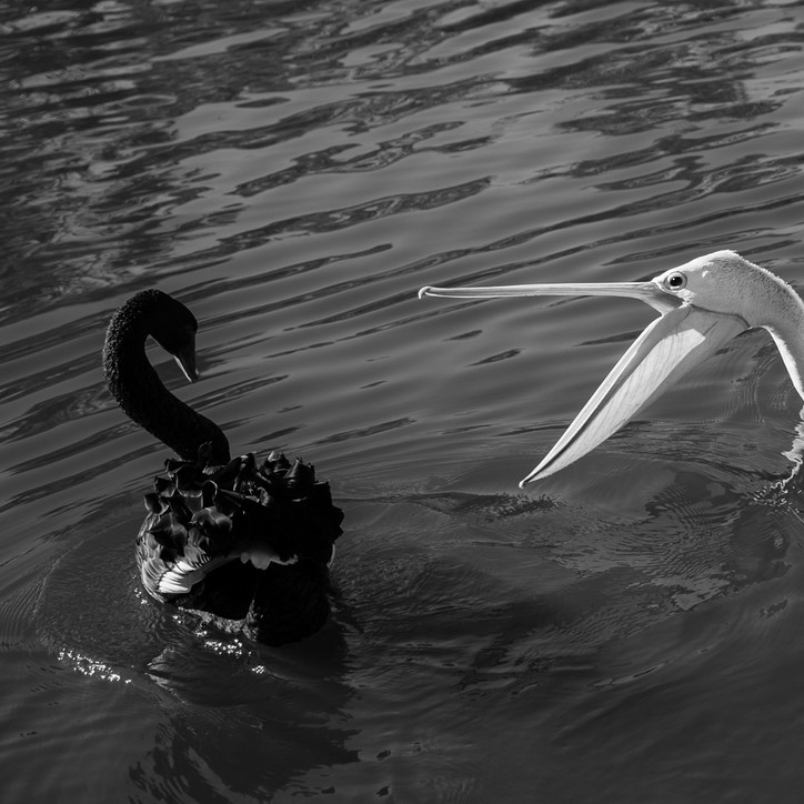 Swan and Pelican