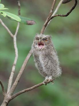 オオコノハズクの雛