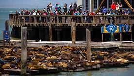 Die Seelöwen vom Pier 39