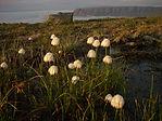 Wollgräser Naturschutz