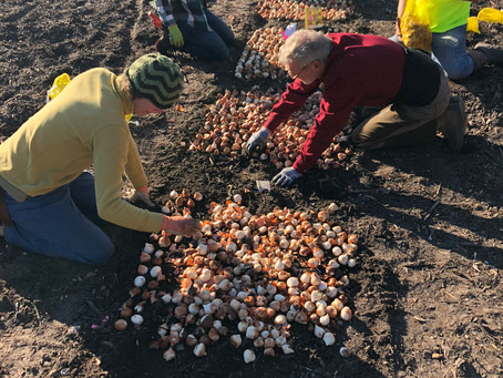 Trench Planting Tulips
