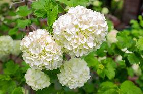 Beautiful Anabelle hydrangea flowers in