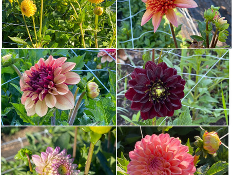 Our Dahlias are starting to bloom!!!