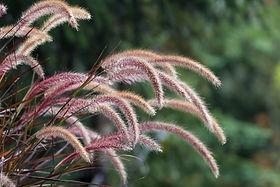 Purple Fountain Grass Ornamental Plant i