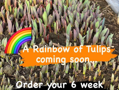 TULIP Season is starting.... We have thousands coming.. bouquets in CSA's just got bigger!! See shop