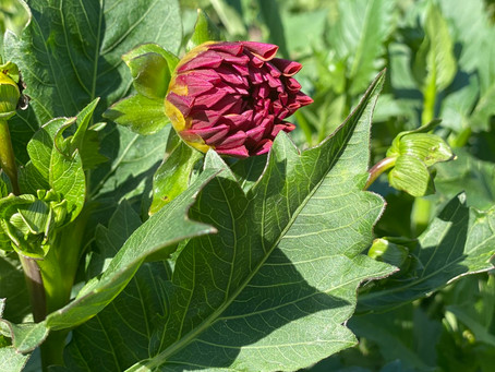 A bloom in the Dahlia Patch!! So exciting