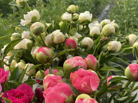 PEONIES are HERE...