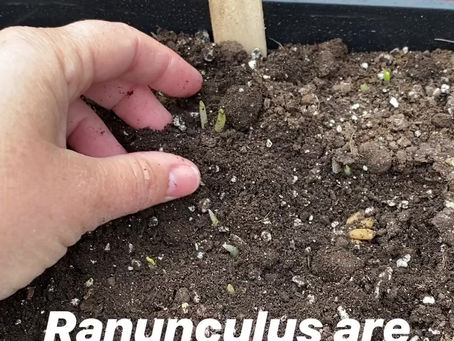 Ranunculus are presprouted!