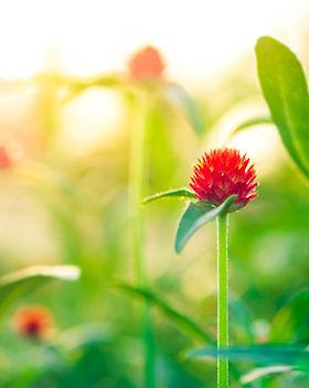 Red flowers, strawberry fields, Gomphren