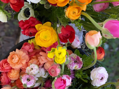 Mixed Ranunculus in CSA's this week
