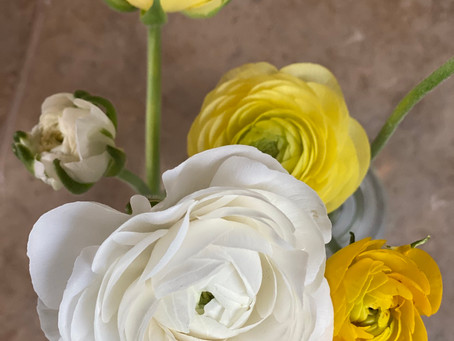 They are here.... Ranunculus in buttery yellow and white are opening.... 🤩
