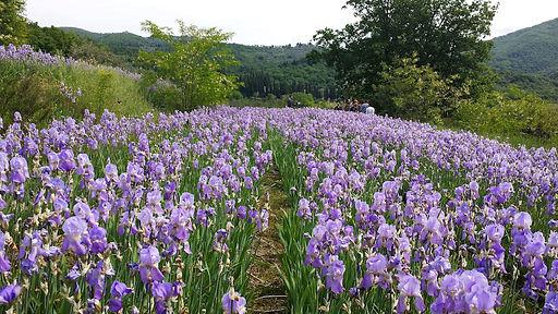 campo iris 3.jpg