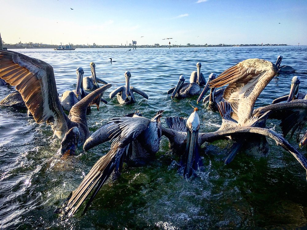 Birds and Pelicans of Anna Maria Island Florida getting excited about a free meal