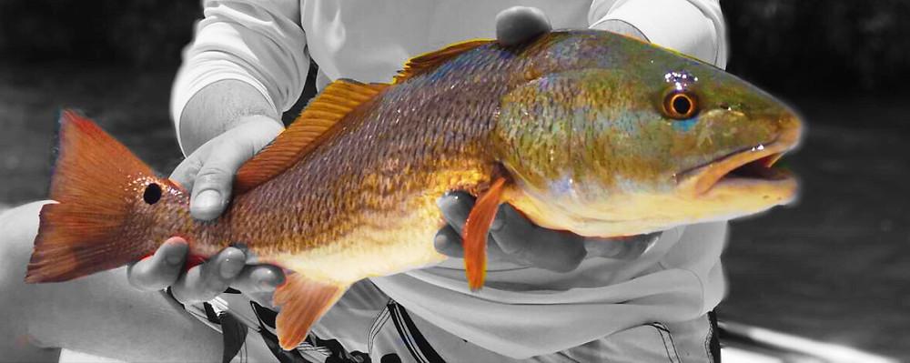 Anna Maria Island Redfish AMI Charters
