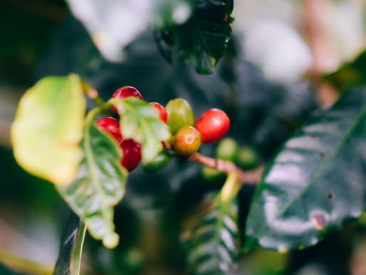 Meeting the Coffee Plant