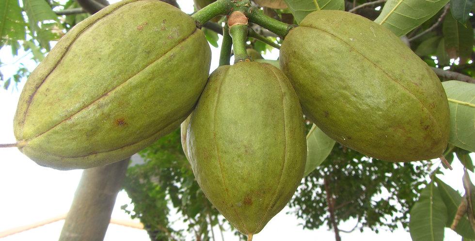 Malabar Chestnut