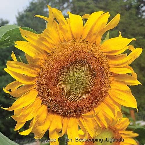 Mammoth  Russian Sunflower seeds