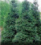giant green arborvitae.jpg