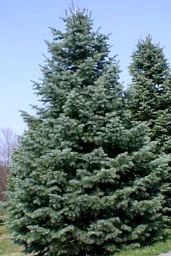 abies_concolor-1_edited.jpg