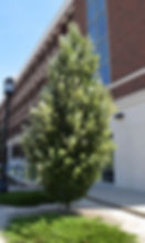 Columnar English Oak.JPG