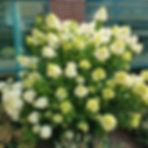 limelight hydrangea.jpg