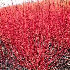 red-twig-dogwood.jpg