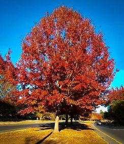 red oak tree.jpg