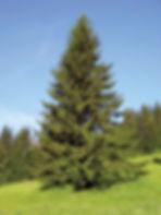 a norway spruce.jpg