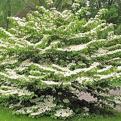 summer snowflake viburnum.jpg