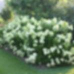 little lime hydrangea.jpg