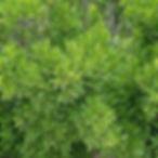 northern bayberry shrub.jpg