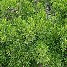northern bayberry shrub.jpg