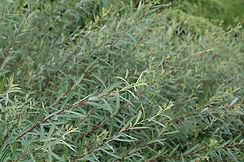 blue arctic willow shrub.jpg